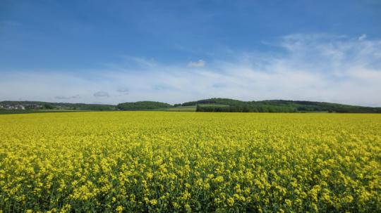 Rapsfeld, Rapsfelder, Westerwald, Hartenfels, Frühling, Vier Jahreszeiten, Blick der Sinne, Landschaftsfotografie